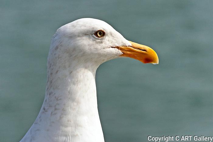 Seabirds seabird seagulls seagull posing on the Seal Beach pier California. Photograph by Alan Mahood.