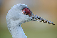 Nictitating membrane of a Sandhill Crane (Grus canadensis). The nictitating membrane is a transparent or translucent third eyelid present in some animals that can be drawn across the eye for protection and to moisten it while maintaining visibility. British Columbia, Canada. December.