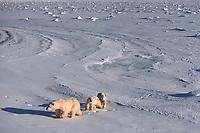polar bear, Ursus maritimus, mother & cubs, on the shore of Hudson Bay, Cape Churchill, Manitoba, Canada, polar bear, Ursus maritimus