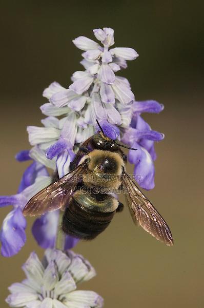 Carpenter Bee, Xylocopa virginica, feeding on Mealy sage (Salvia farinacea), Uvalde County, Hill Country, Texas, USA