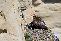 Adult Golden Eagle (Aquila chrysaetos) shading its chick from the sun. Sublette County, Wyoming. June.
