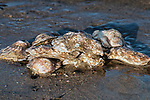 Many Eastern oysters exposed on sand bottom at low tide, side view.