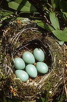 Heckenbraunelle, Ei, Eier, Gelege im Nest, Hecken-Braunelle, Prunella modularis, dunnock