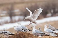 Immature, 1st winter Glaucous Gull (Larus hyperboreus) landing in a group of Herring Gulls (Larus argentatus). Tompkins County, New York. January.