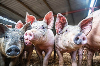 BNPS.co.uk (01202 558833)<br /> Pic: MaxWillcock/BNPS<br /> <br /> Pictured: Pigs at Allenford Farm.<br /> <br /> A pig farmer is closing his business after over 50 years due to the staffing crisis within the industry.<br /> <br /> Robert Shepherd, 58, a second generation farmer, faces culling 10,000 pigs in the coming weeks due to a drastic shortage of abattoir workers.<br /> <br /> Mr Shepherd usually sends 400 pigs to market a week but they are now backing up at his 2,000 acre Allenford Farm in Damerham, near Fordingbridge, Hants, due to the lack of butchers and HGV drivers to transport them.<br /> <br /> He said the staffing crisis has been the final straw following pressure put on his business due to Covid and he is now closing his pig farm that has been going since 1963.