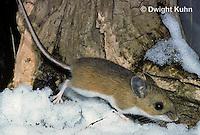 MU12-063z  Deer Mouse - Peromyscus maniculatus