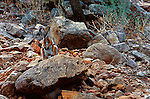 A protected Ring-tailed Rock Wallaby perches on a rock in Flinders Ranges National Park, South Australia.