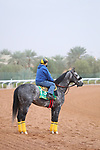 Track Work: February 19 2021: SLEEPY EYES TODD (USA) Track work from King Abddulaziz Racetrack, Riyadh, Saudi Arabia. Shamela Hanley/Eclipse Sportswire/CSM FEBRUARY 19 2021: The Saudi Cup Preparations.