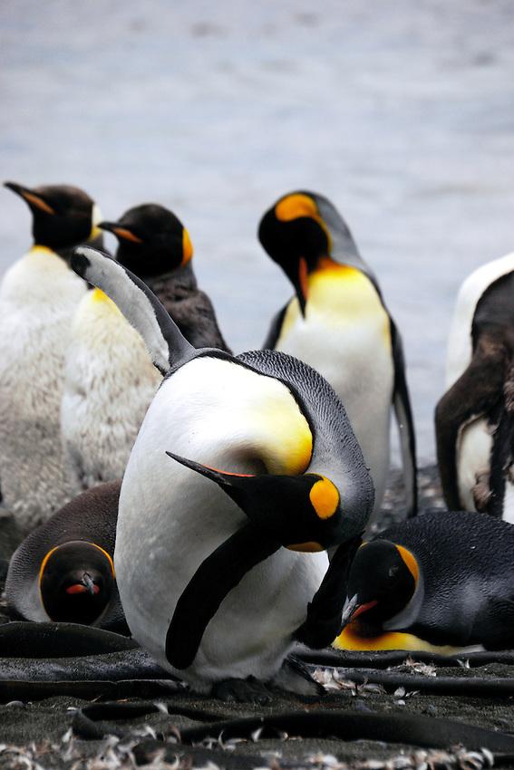 Advanced Yoga - King penguins on the beach at Sandy Bay, Macquarie Island
