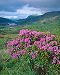 County Kerry, Ireland   <br /> Flowering rhododendron at Ladies' View overlook with Upper Lake and the Long Range River in the distance