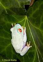 0306-0916  Red-eyed Tree Froglet (Young Frog), Agalychnis callidryas  © David Kuhn/Dwight Kuhn Photography.