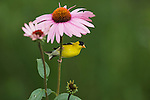 Male American goldfinch and purple coneflower