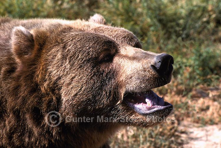 Kodiak Bear aka Alaskan Grizzly Bear and Alaska Brown Bear (Ursus arctos middendorffi) growling
