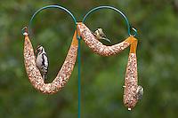 Buntspecht, Kohlmeise und Blaumeise an der Vogelfütterung, Fütterung am Futterschlauch, Körnerfutter, Kohl-Meise, Meise, Meisen, Parus major, great tit, Bunt-Specht, Specht, Spechte, Dendrocopos major, Great Spotted Woodpecker, Woodpeckers, Pic épeiche, Blau-Meise, Cyanistes caeruleus, Parus caeruleus, blue tit .Ganzjahresfütterung, Vögel füttern im ganzen Jahr, Riesenfutterschlauch, Vogelfutter der Firma GEVO