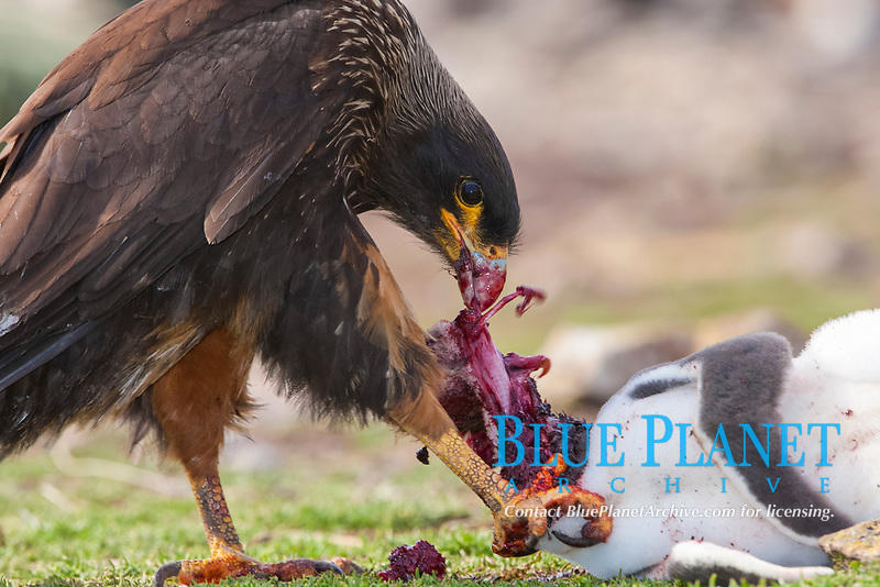 Striated caracara feeds upon a gentoo penguin chick it has just killed.