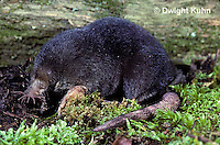 MB01-001x  Star-nosed Mole - adult searching for food - Condylura cristata