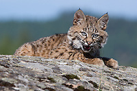 Bobcat kitten laying on top of a rocky hill - CA