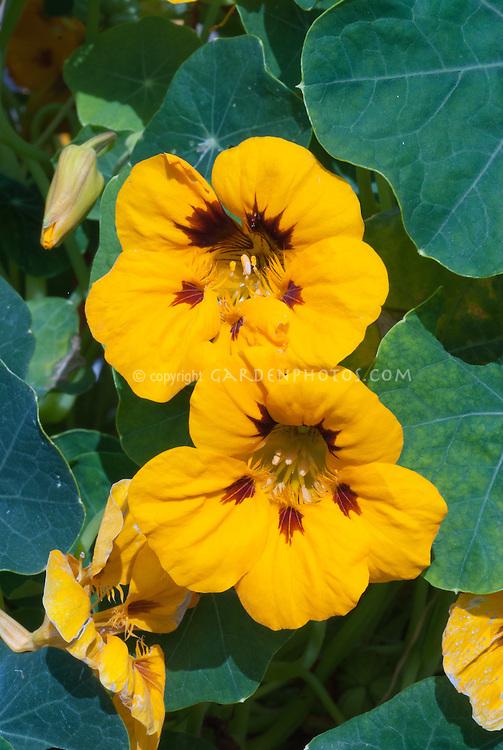 Tropaeolum majus Ladybird nasturtium in yellow gold flowers