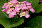 Europa, DEU, Deutschland, Rheinland-Pfalz, Hunsrueck, Hortensie (Hydrangea), Blueten, Natur, Umwelt, Pflanzen, Pflanzenkunde, Botanik, Biologie, Die Hortensien (Hydrangea) sind eine Pflanzengattung in der Familie der Hortensiengewaechse (Hydrangeaceae). Sorten einiger ihrer Arten sind beliebte Zierstraeucher. Quelle: https://de.wikipedia.org/wiki/Hortensien<br /> <br /> [Fuer die Nutzung gelten die jeweils gueltigen Allgemeinen Liefer-und Geschaeftsbedingungen. Nutzung nur gegen Verwendungsmeldung und Nachweis. Download der AGB unter http://www.image-box.com oder werden auf Anfrage zugesendet. Freigabe ist vorher erforderlich. Jede Nutzung des Fotos ist honorarpflichtig gemaess derzeit gueltiger MFM Liste - Kontakt, Uwe Schmid-Fotografie, Duisburg, Tel. (+49).2065.677997, ..archiv@image-box.com, www.image-box.com]
