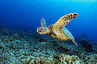 green sea turtle, Chelonia mydas, Kona Coast, Big Island, Hawaii, USA, Pacific Ocean