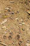 Cockscomb Basin Wildlife Sanctuary, Belize, Central America; Baird's Tapir (Tapir-ello bairdii) footprints imprinted into the dirt of the walking path, National Animal of Belize, locally called the mountain cow, related to the primative horse and rhinoceros, strictly vegetarian, can weigh up to 600 pounds , Copyright © Matthew Meier, matthewmeierphoto.com All Rights Reserved