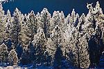 Heavy winter frost on pine trees in Montana