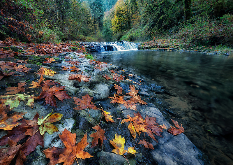 Big Leaf Maple Leaves in fall. Silver falls State Park, Oregon