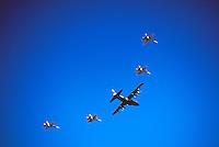 Lockheed C-130 Hercules Aircraft and CF-18 (aka F/A-18) Hornet Military Aircraft Flypast - at Abbotsford International Airshow, BC, British Columbia, Canada