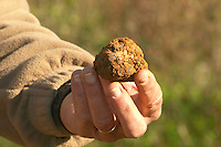 Hugues Martin, the owner of the truffles farm A truffle just dug out of the ground, but unfortunately this truffle is rotten since it has been in the ground since last season Truffiere de la Bergerie (Truffière) truffles farm Ste Foy de Longas Dordogne France