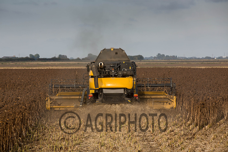 Harvesting sunflowers for bird seed in Lincolnshire<br /> Picture Tim Scrivener 07850 303986