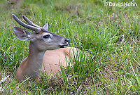 0528-1108  Central American White-tailed Deer, Belize, Male Deer with Velvet Antlers (antlers growing in soft cartilaginous state), Odocoileus virginianus truei  © David Kuhn/Dwight Kuhn Photography