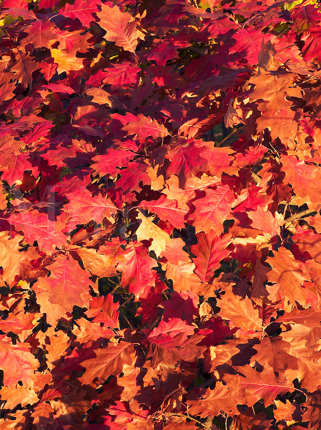 Leaves of red oak, Woodthrush Woods State Preserve, Jefferson County, Iowa