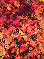 Leaves of red oak, Woodthrush Woods State Preserve, Jefferson County, Iowa