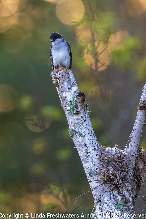 Early morning at a kingbird nest in northern Wisconsin.