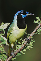 Green Jay, Cyanocorax yncas, adult on Catclaw (Acacia greggii), Willacy County, Rio Grande Valley, Texas, USA, June 2006