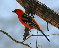 Adult altamira oriole on tree branch
