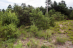 pine barren, concord, new hampshire.  This is the habitat being restored for the critically endangered karner blue butterfly
