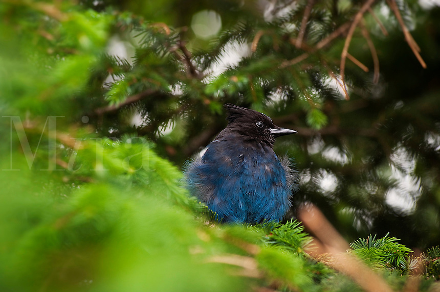 Steller's Jay, Cyanocitta stelleri, perched in pine tree, Alaska