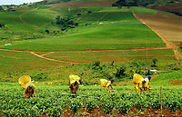 Zimbabwe.  Recently planted tea plantation with pluckers at work in the rain..