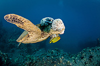 This green sea turtle, Chelonia mydas, has large fibropapilloma tumors covering it's head and eyes. Soon the tumors will grow to cover both eyes and limit the turtles ability to locate a food source. Hawaii.