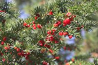 Gewöhnliche Eibe, Früchte, Taxus baccata, Common Yew, If commun