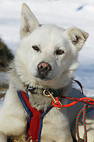 A Kelley Maxiner dog rests at Grayling on Saturday during Iditarod 2011.