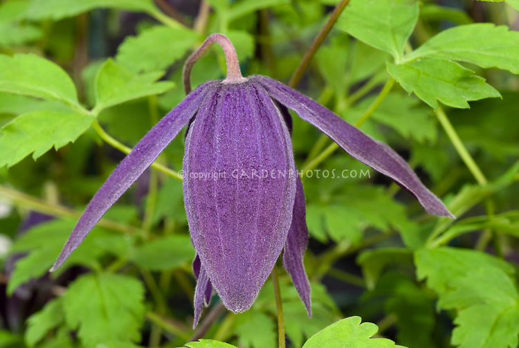 Clematis 'Purple Spider' (A/d)