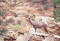 Desert Bighorn Sheep, a young ram seen in Zion National Park on a rock ridge