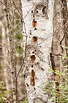 White Birch Tree damaged by woodpekers