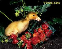 DG12-002x  Pekin Duck - ten day old duckling exploring among picked strawberries