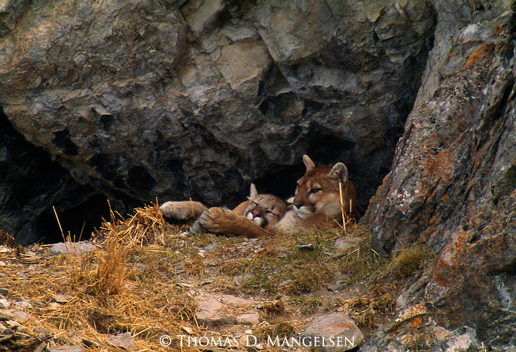 Curled up in the protection of his cave on a late-winter morning, a seven-month old mountain lion cub settles into his mother's arms at the dawn of a new day on the National Elk Refuge in Jackson Hole, Wyoming.