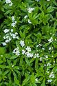Sweet woodruff (Galium odoratum), late May.