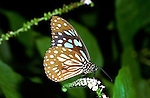 Blue Tiger Butterfly-Danaus limniace