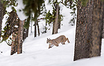 North American Bobcat (Lynx rufus) walking through deep snow. Madison River Valley, Yellowstone National Park, Wyoming, USA. January